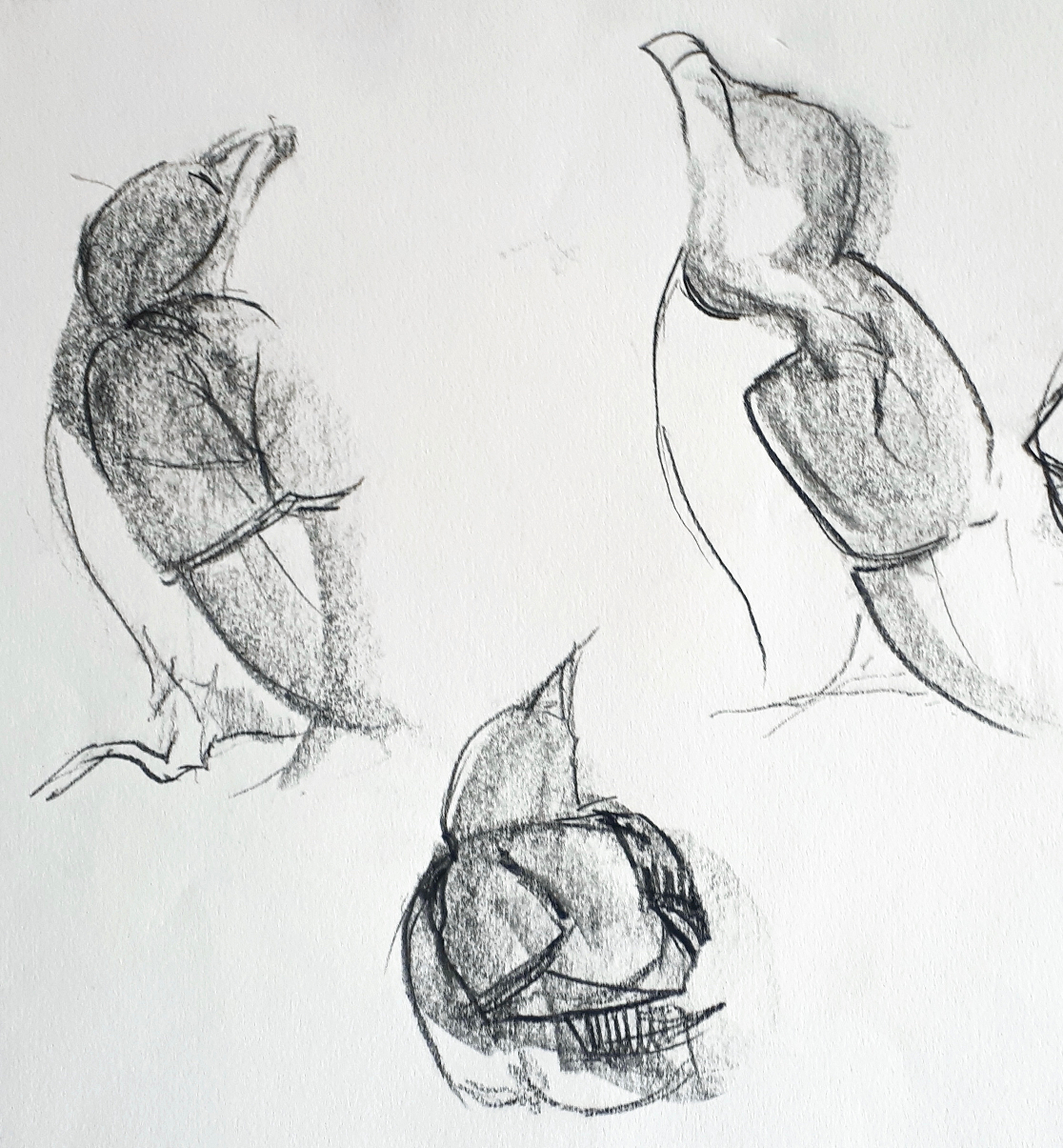 Melanie Mascarenhas, Quick Razorbill Studies, Graphite block on paper
