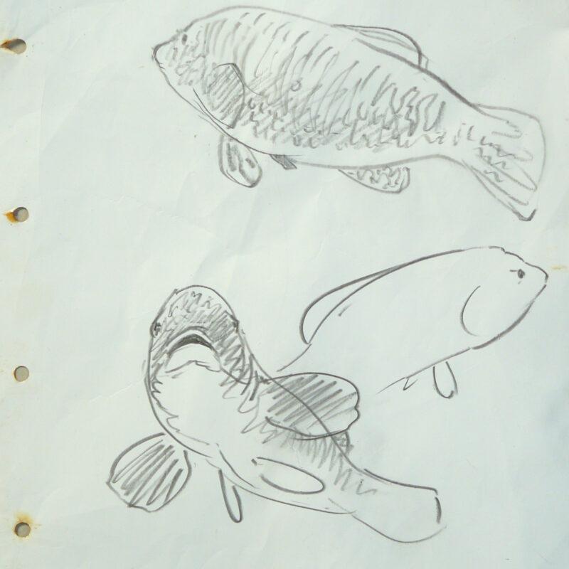 Ballan Wrasse sketch, Chris Rose