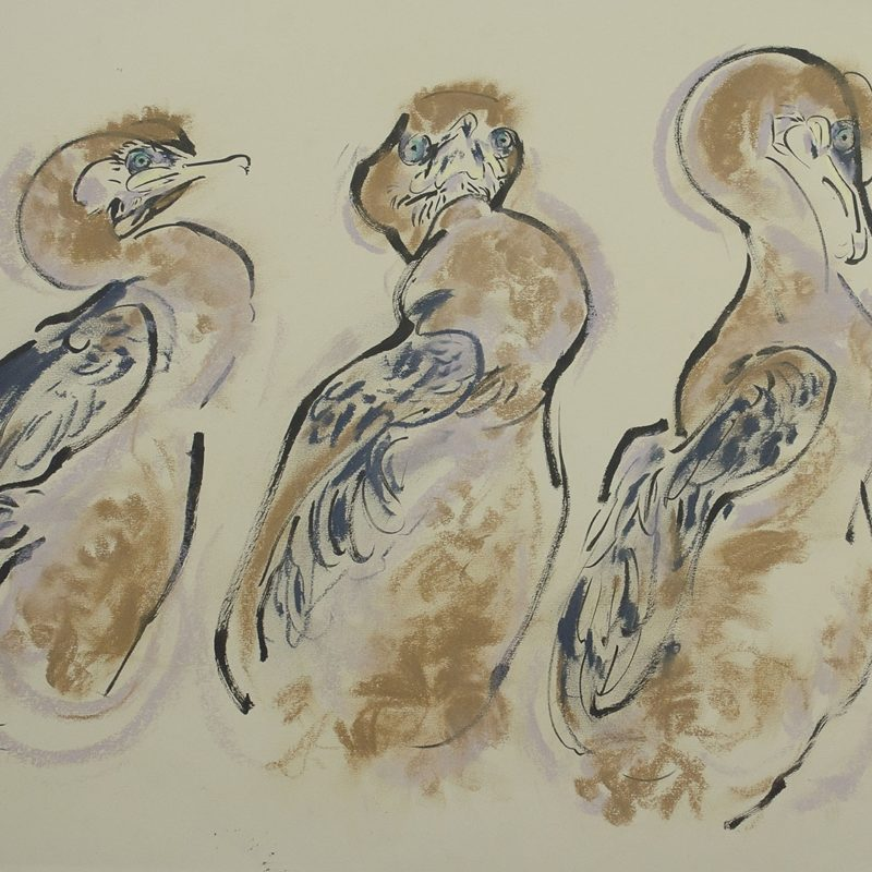Three Shag chicks © Wynona Legg