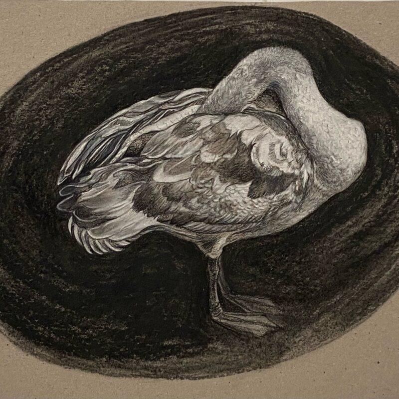 Georgina Coburn, Mute Swan Cygnet, conté crayon on cardboard, 28.5 x 41cm