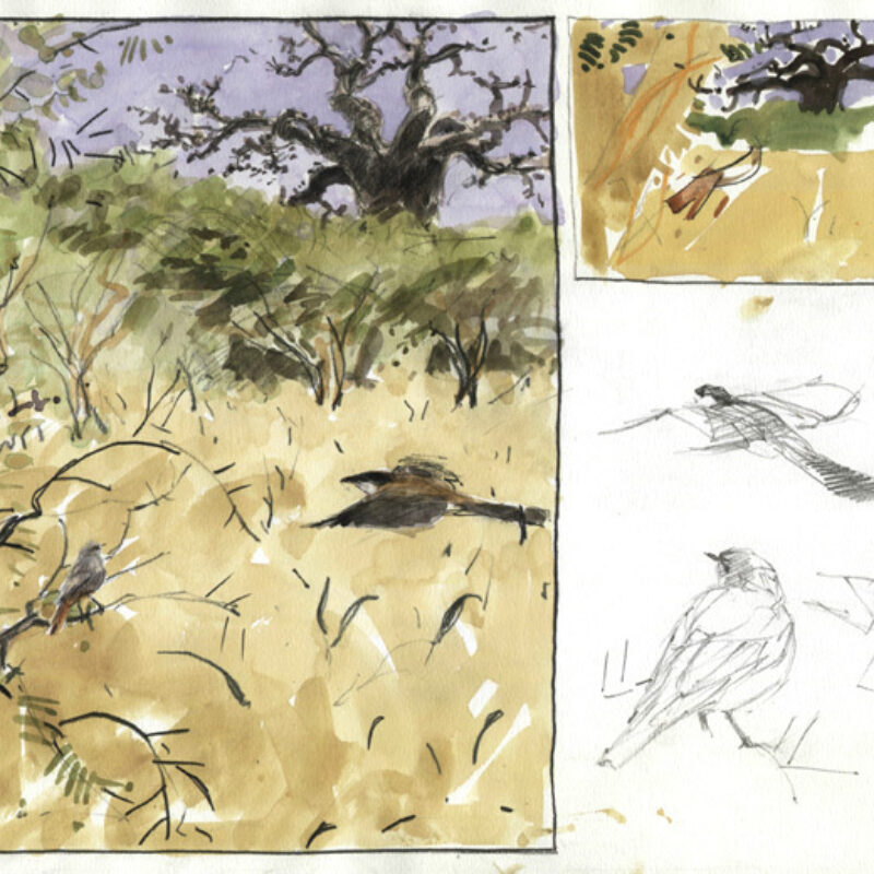 Sahel wintering redstart, Bruce Pearson