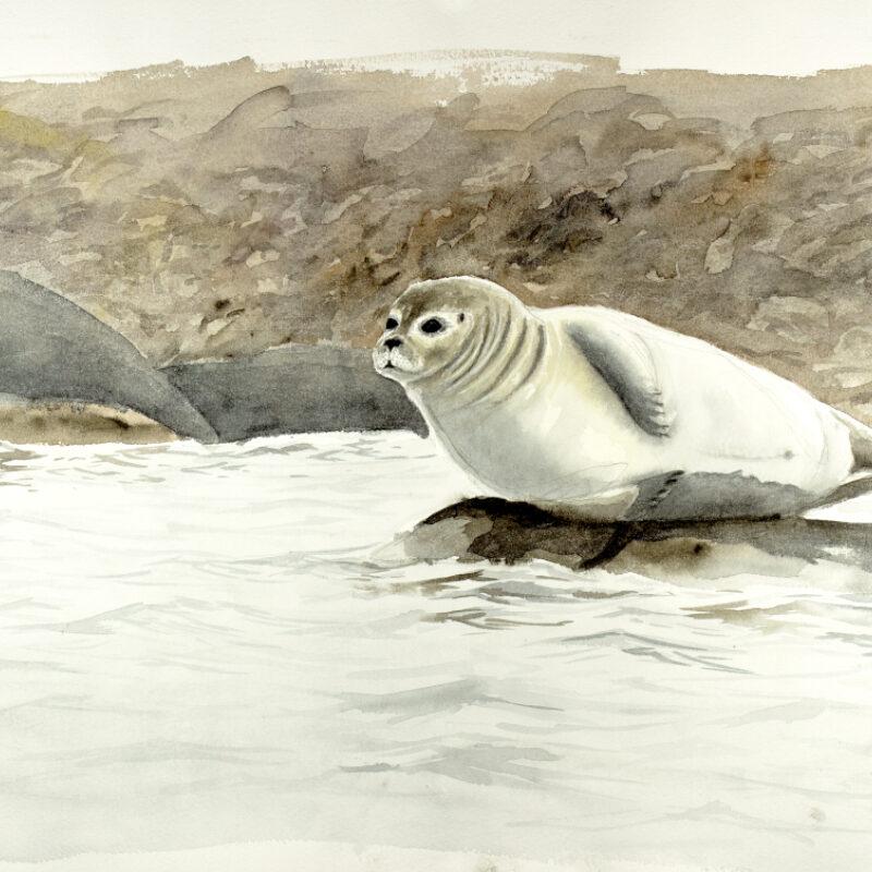 Adrein Brun, Harbour Seal, Watercolour