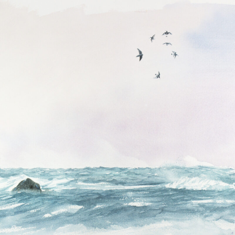 Adrien Brun, Peregrine Hunting Oystercatchers, Watercolour