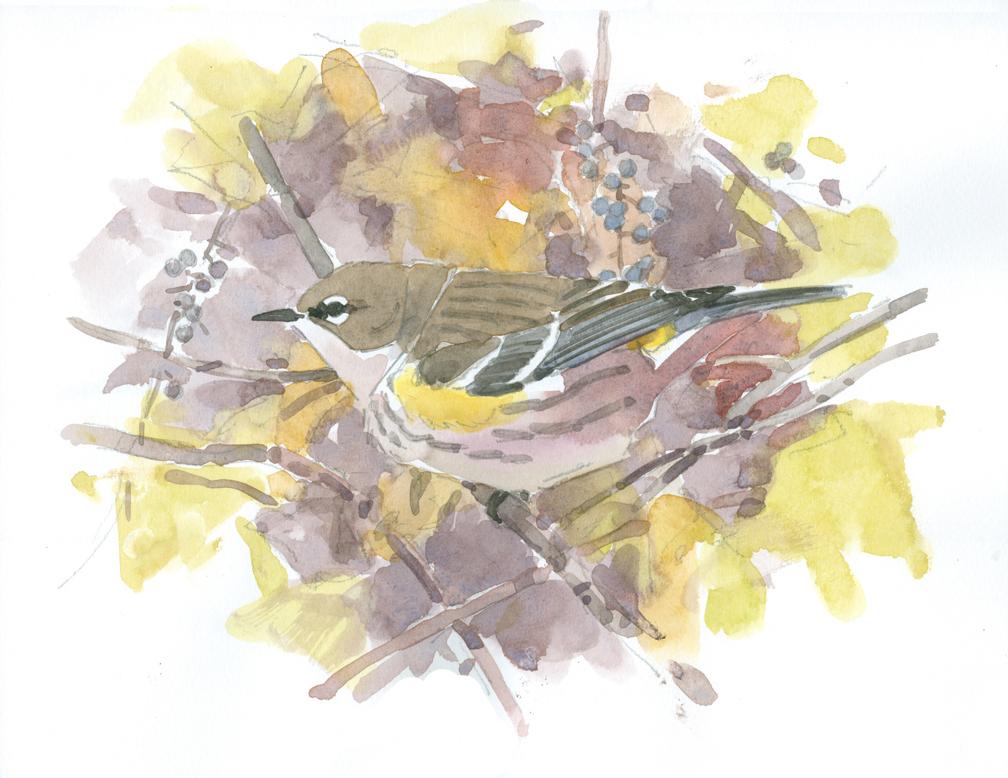 <p>Yellow-rumped Warbler by Barry Van Dusen</p>