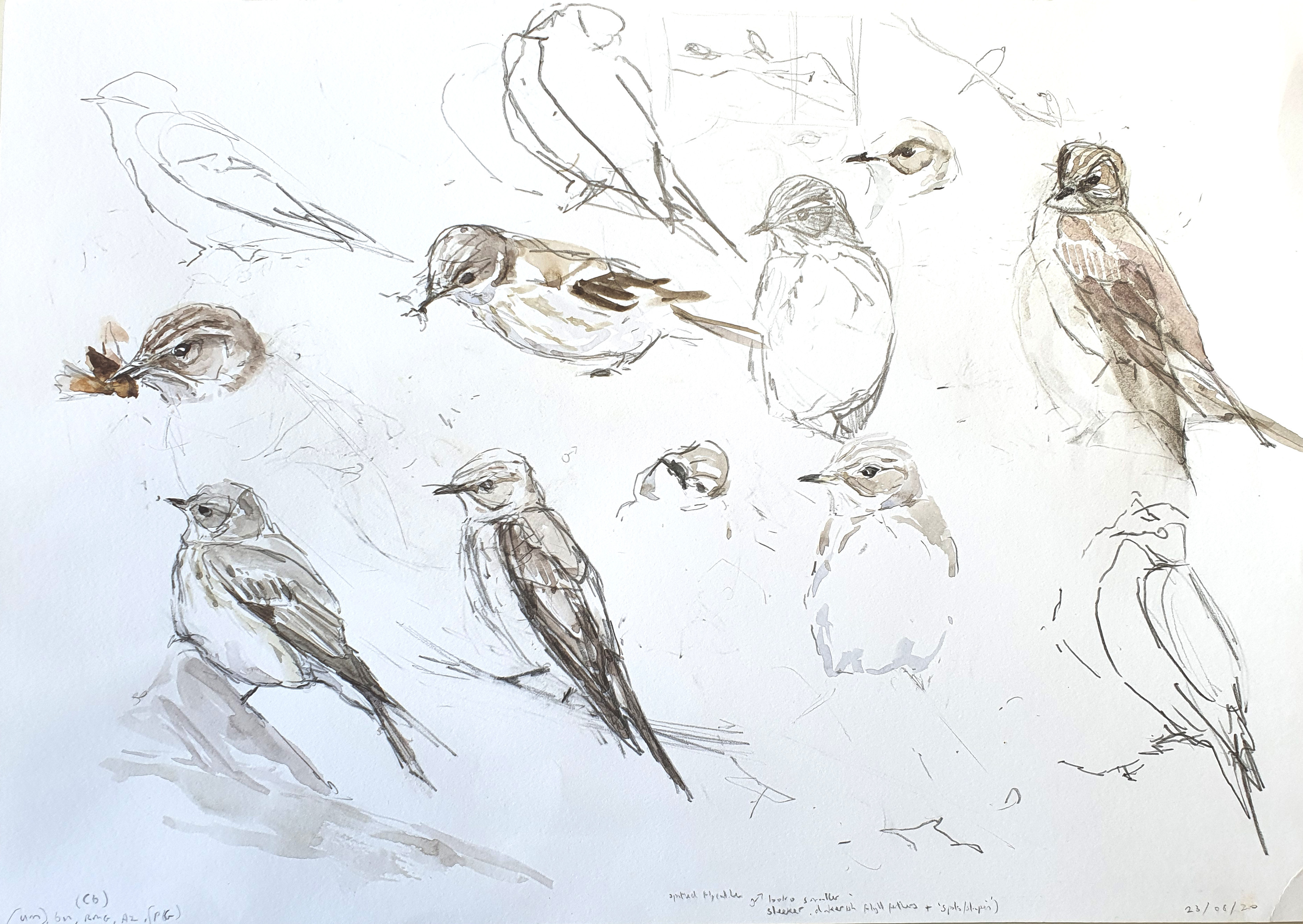 <p>Spooted Flycatcher foraging study by Chris Wallbank</p>
