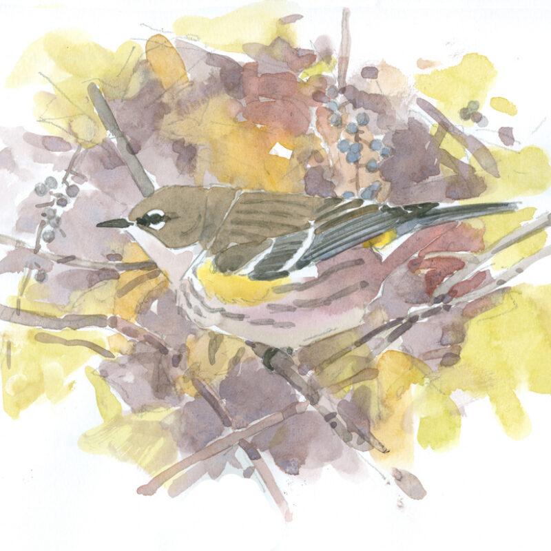 Yellow-rumped Warbler by Barry Van Dusen