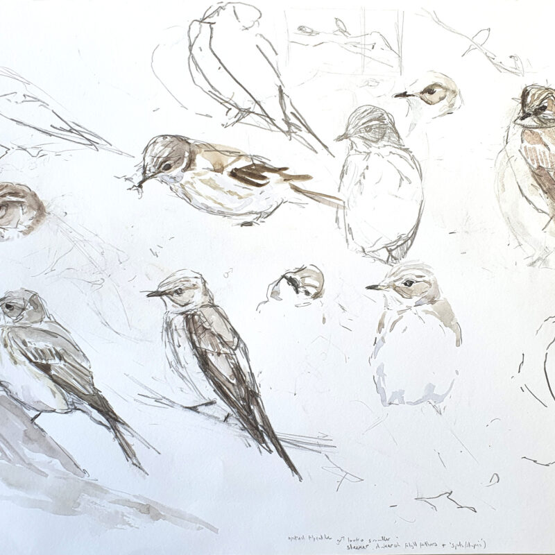 Spooted Flycatcher foraging study by Chris Wallbank
