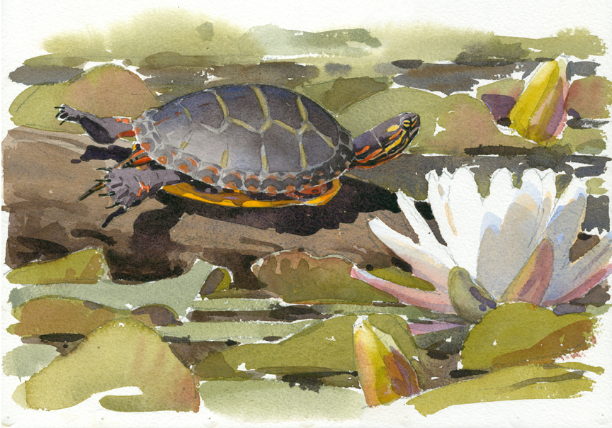Painted Turtle, Stony Brook from Finding Sanctuary