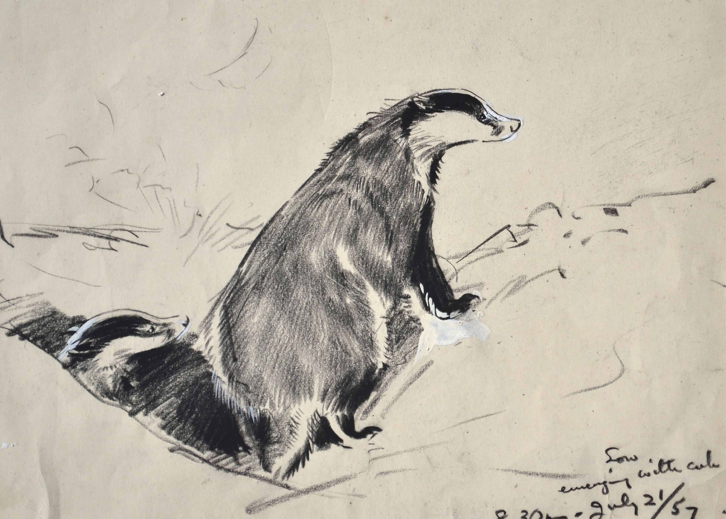 Badger Sow with Emerging Cub drawing by Eileen Soper RMS SWLA  © Courtesy Sarah Colegrave
