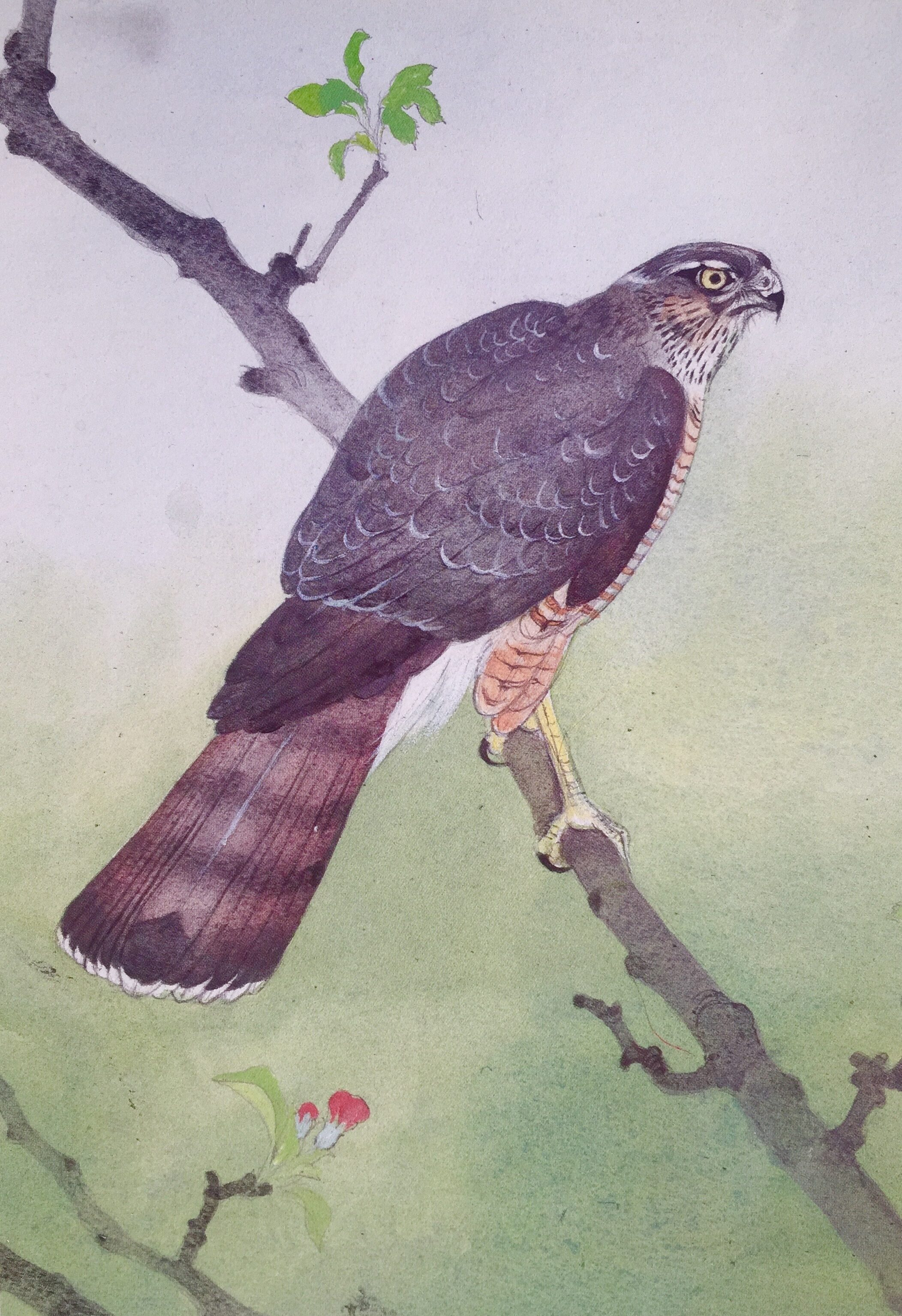 Female Sparrowhawk by Maurice Wilson RI  © Estate of Maurice Wilson