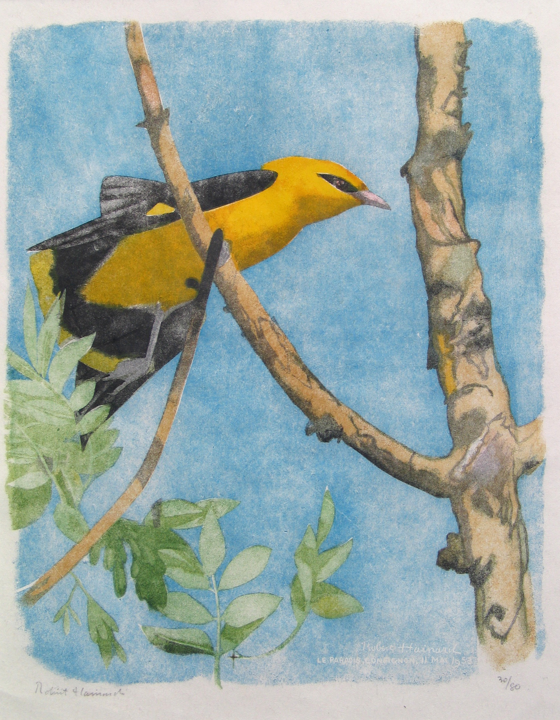 Golden Oriole woodcut by Robert Hainard