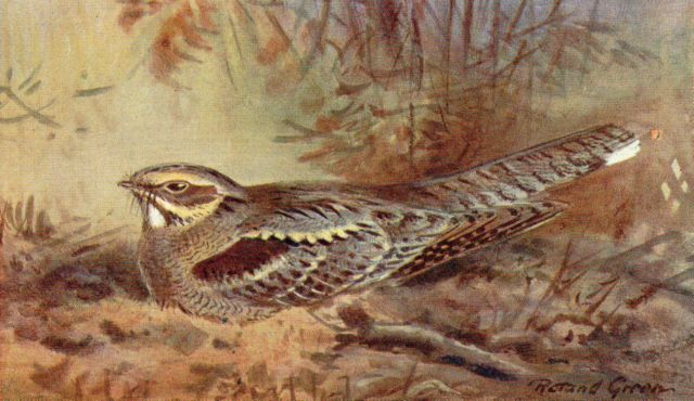 Nightjar by Roland Green  © Courtesy Rountree Tryon Gallery