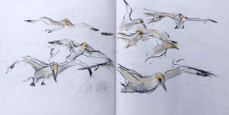 Flying Gannets sketchbook page