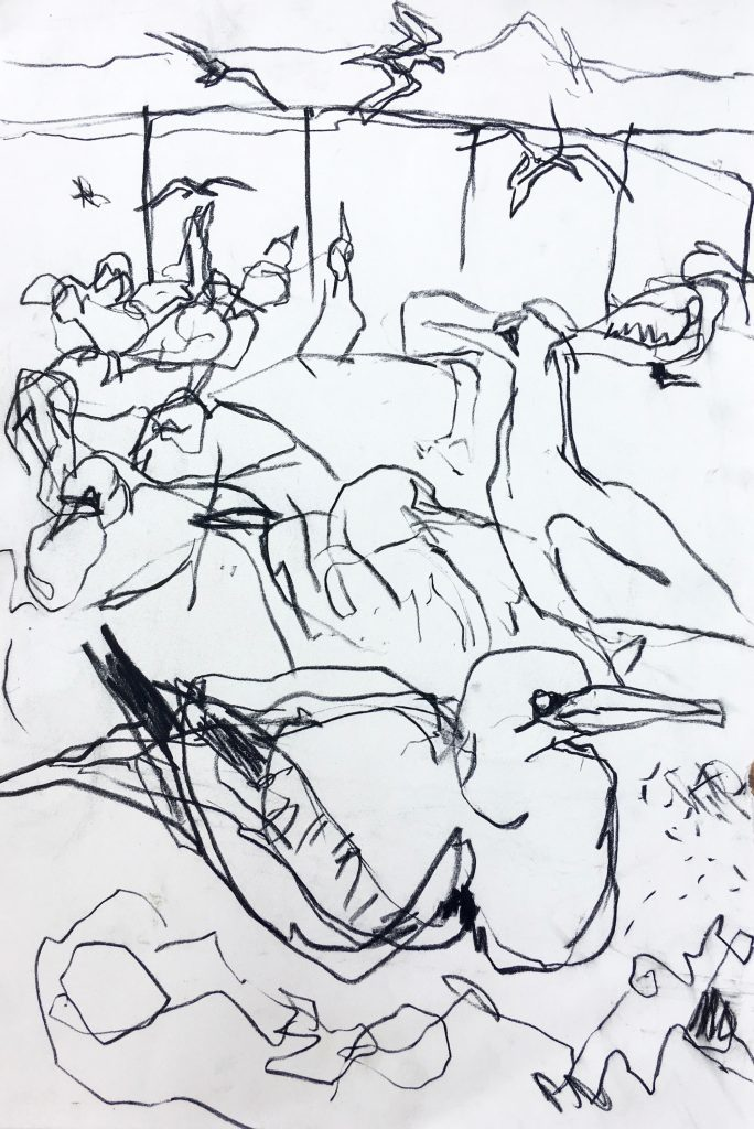 Gannet sketch, Bass Rock, Charcoal and pencil, Emily Ingrey-Counter