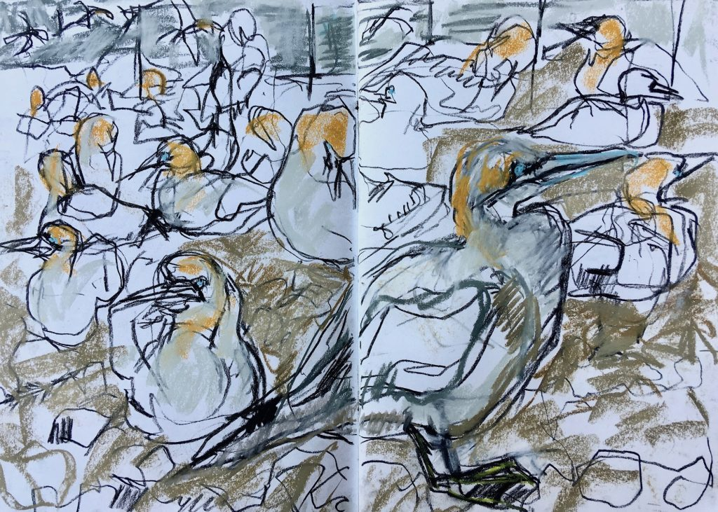 Busy crowd of nesting Gannets, Bass Rock – sketchbook page, Emily Ingrey-Counter