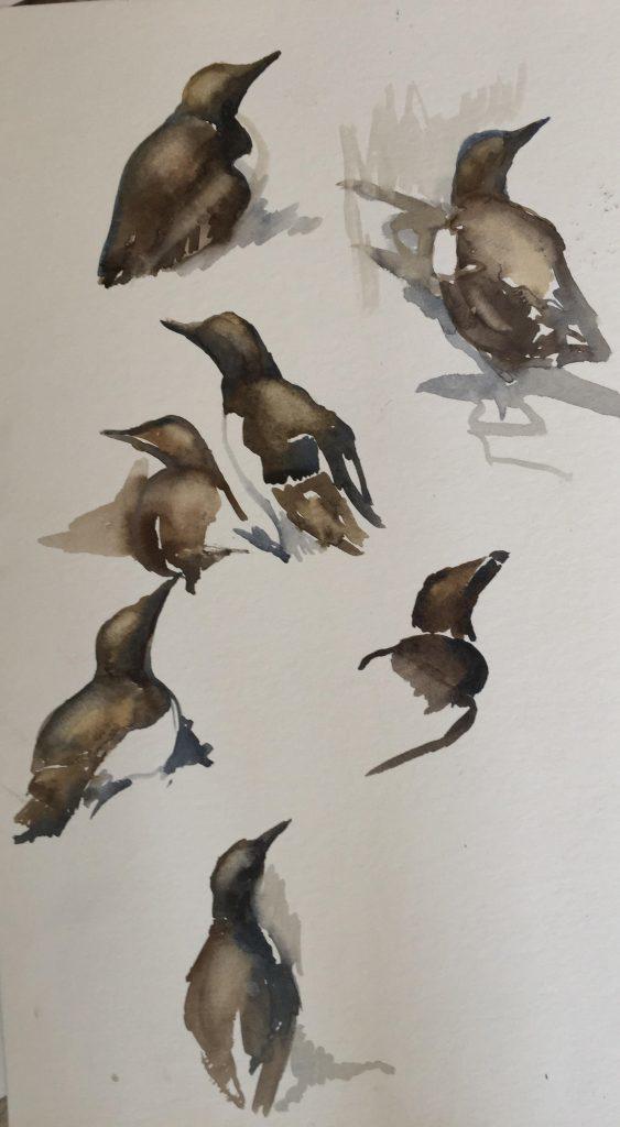 Watercolour guillemot studies