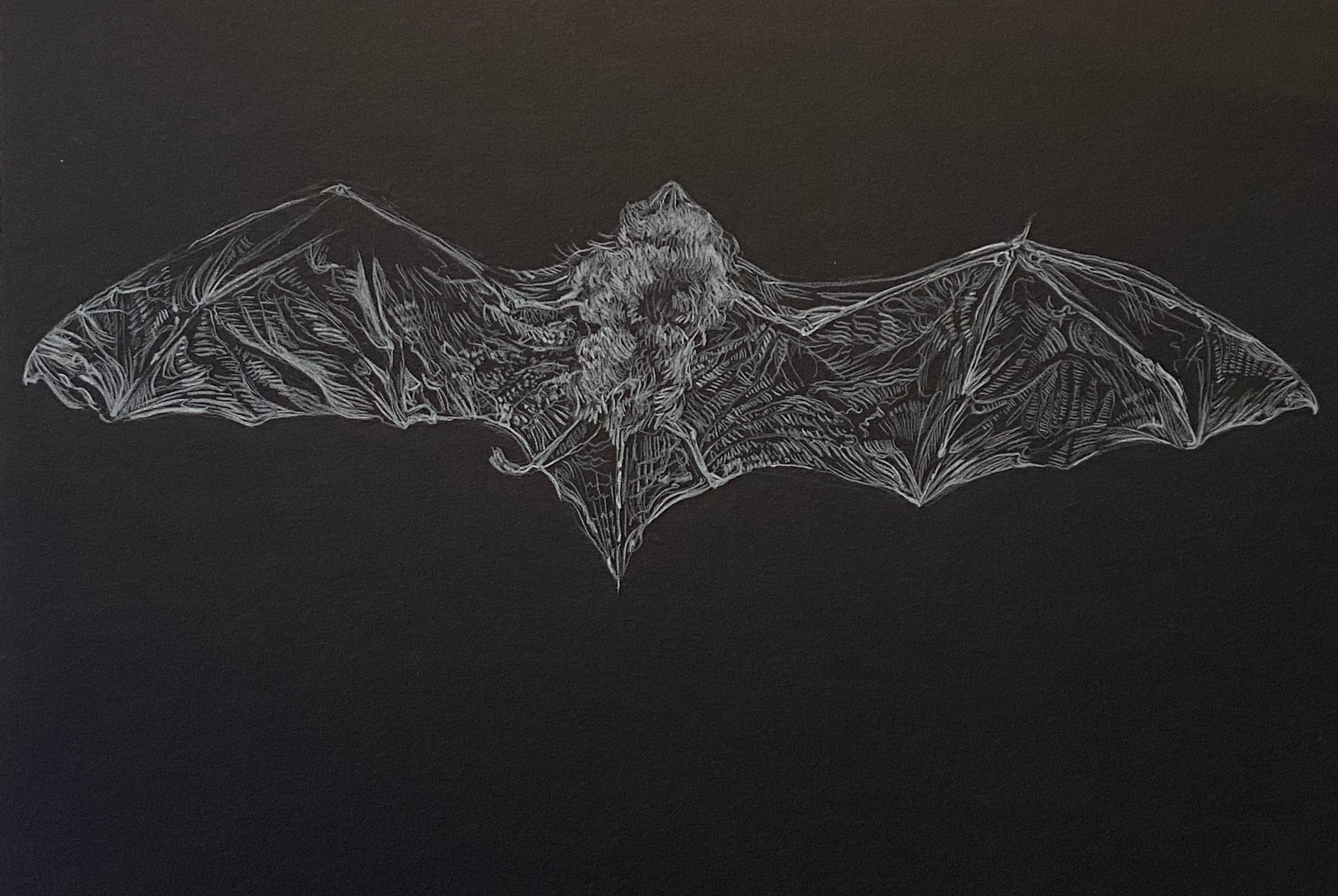Bat Study, Inverness Museum, Conté Crayon on Paper