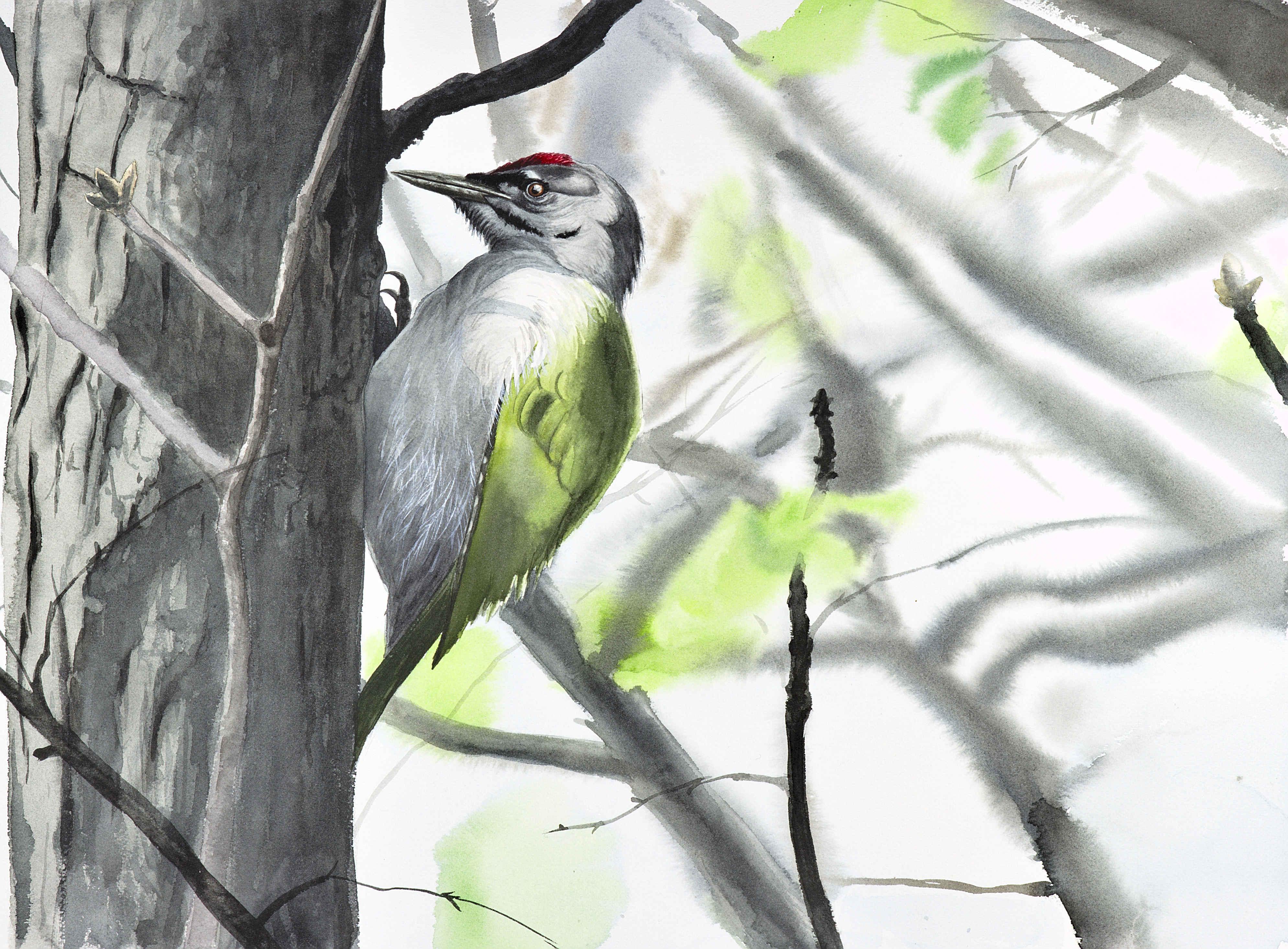 Adrien Brun, Grey-headed Woodpecker, Watercolour on paper