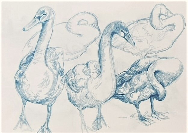 Georgina Coburn, Mute Swans, Caledonian Canal; Pencil on paper
