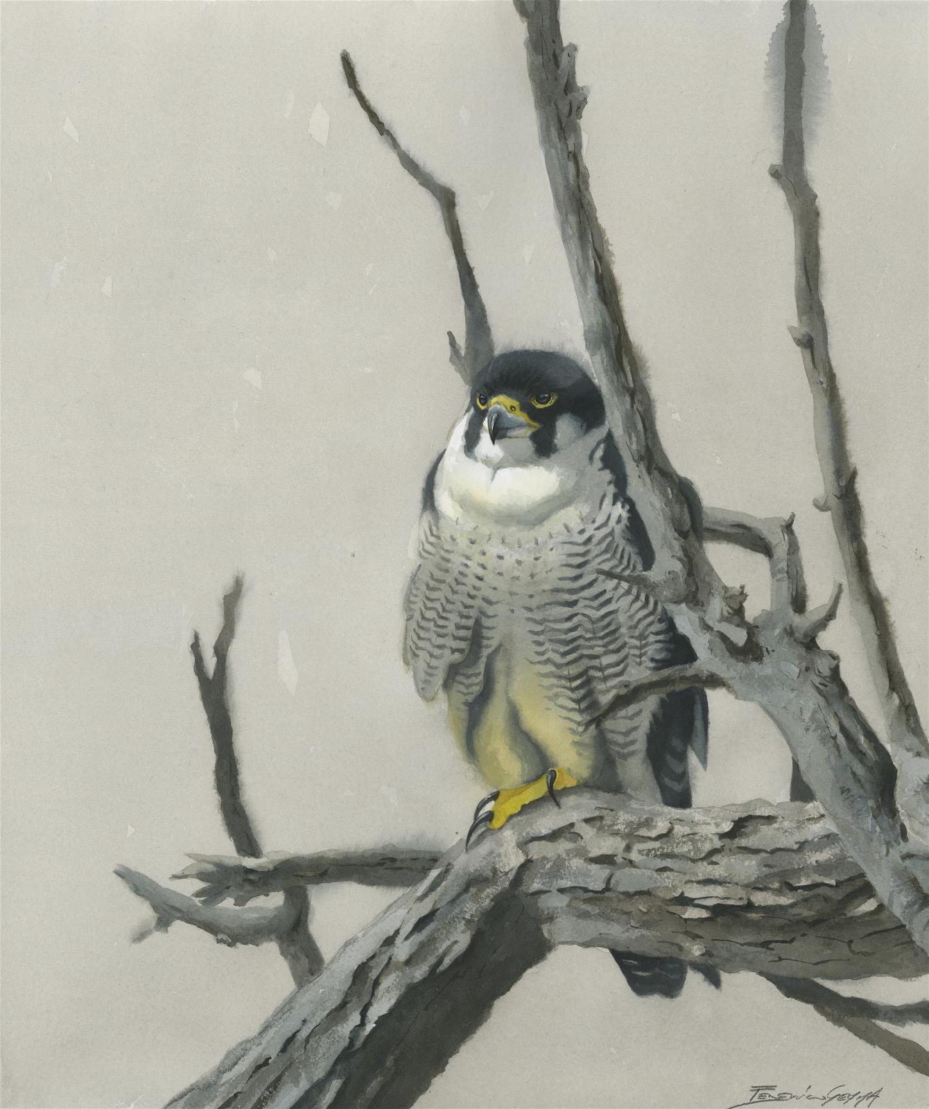 <p>Peregrine Falcon by Federico Gemma</p>