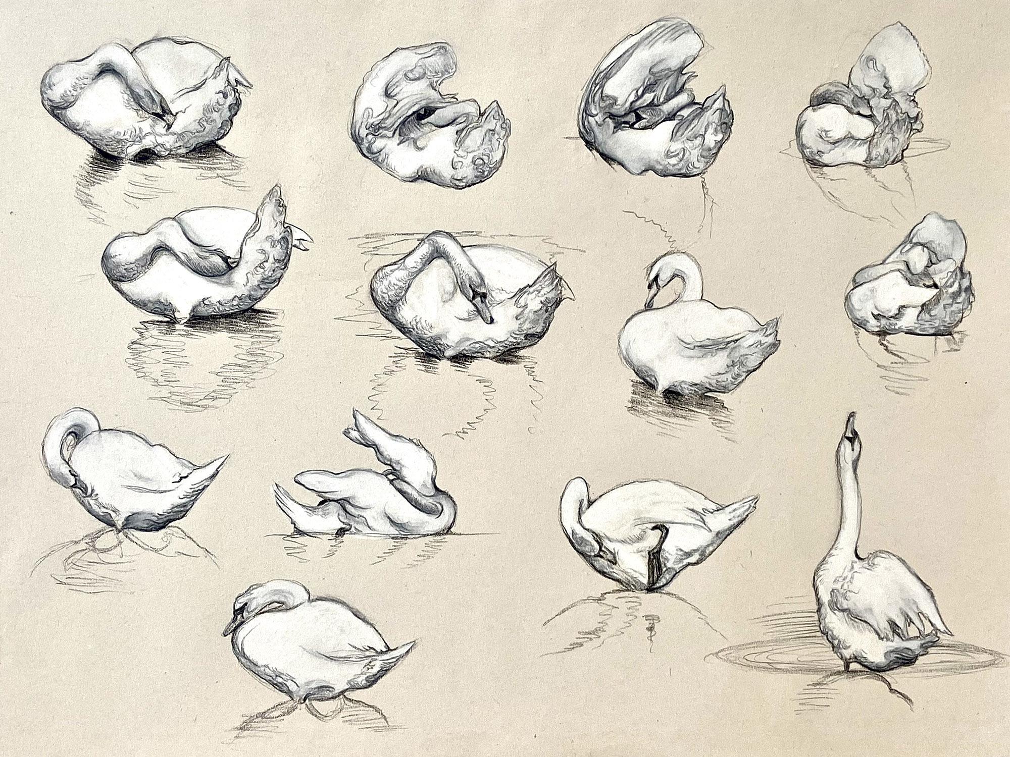 Georgina Coburn, Mute Swans Grooming Conte 41 5cm x 29cm