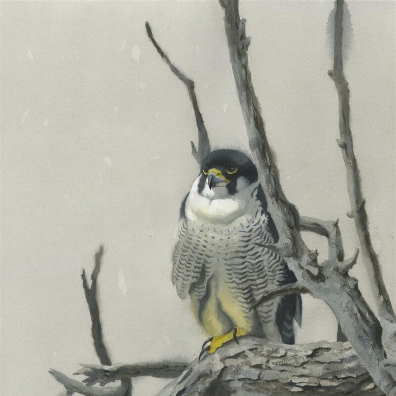 Peregrine Falcon by Federico Gemma