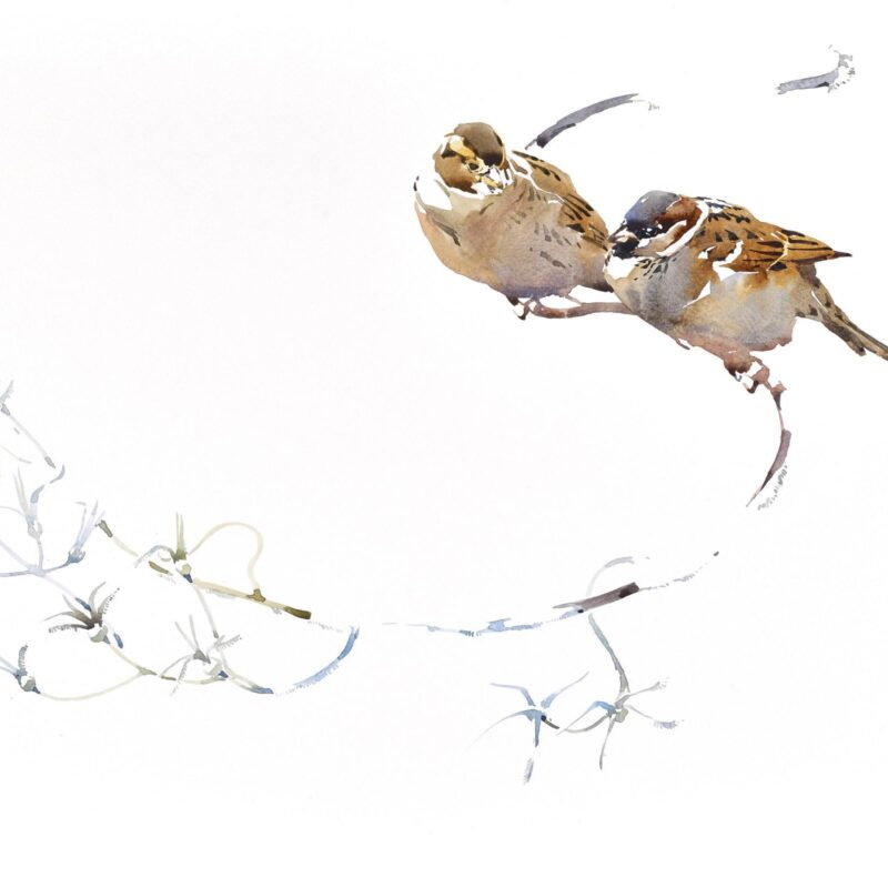 House Sparrow pair on garden twist by Darren Woodhead