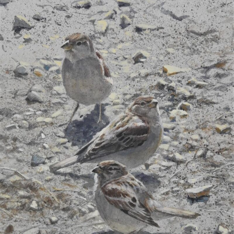 Young House Sparrows by Tim Wootton