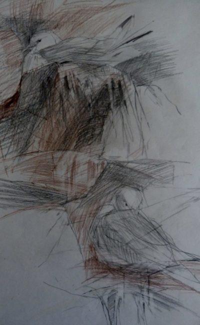 Kittiwakes, pencil and crayon, Helen Kennedy