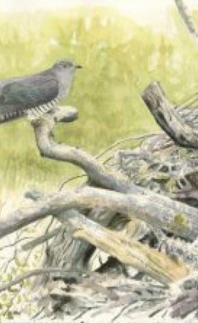 Male Cuckoo Wicken, Richard Johnson, Watercolour