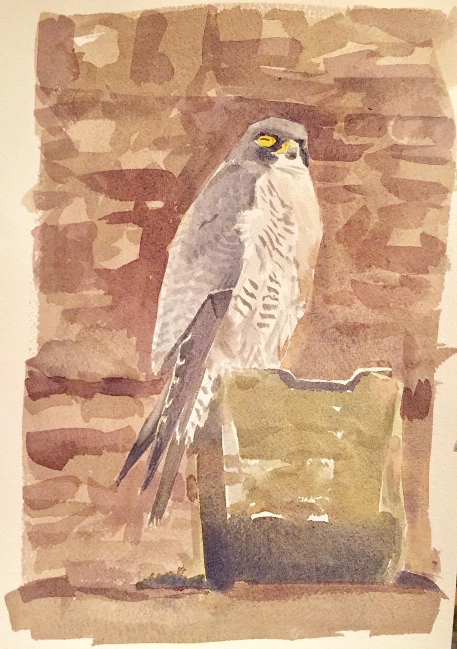 Peregrine Falcon, watercolour, Darren Rees